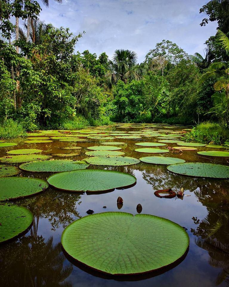 la-sorprendente-victoria-regia-cubriendo-el-rio-amazonas
