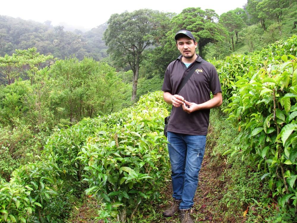 En Boquete Tree Trek se cultiva el Té